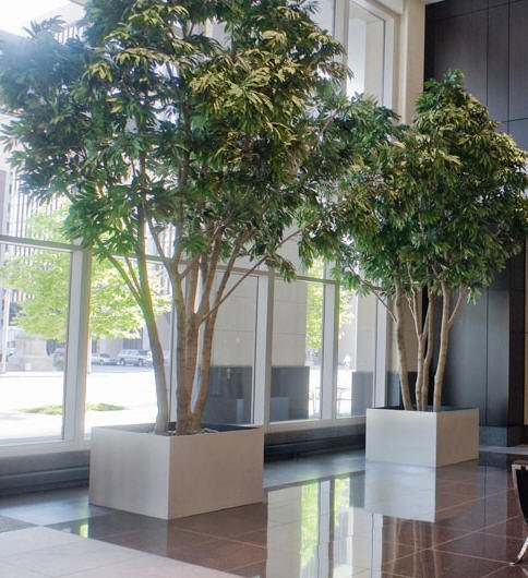 Lobby Plantscape - two ficus in Cube planters